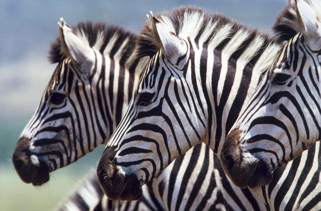 Zebras Safari - Reizen op maat | Corallium - Reisbureau Lennik en Gooik